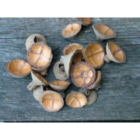 Száraz termés natúr keresztes kupak