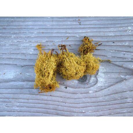Izlandi zuzmó sárga színben