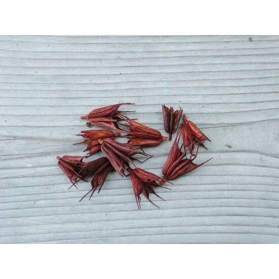 szarazvirag-katica-barna-1