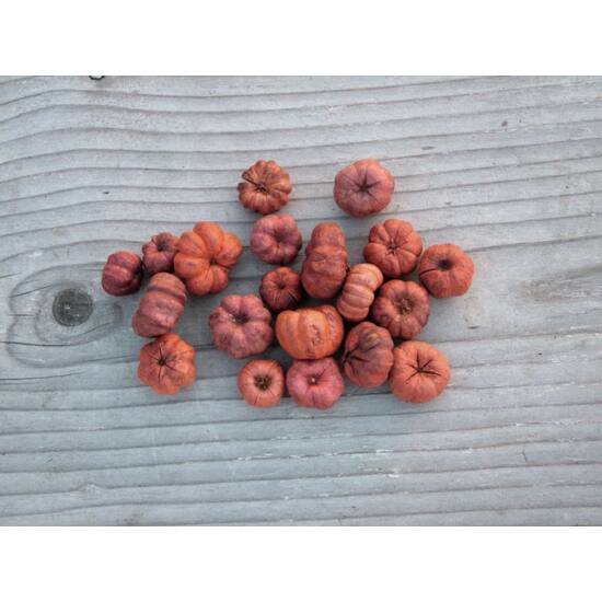 Száraz termés narancs mini tökforma